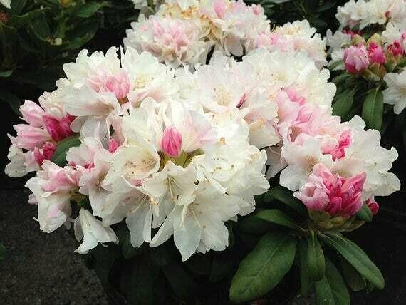 Rhododendron Yaku Princess - 5 gallon