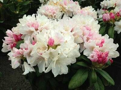 Rhododendron x 'Yaku Princess' 5 gal