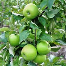 Apple Granny Smith 7 gal.