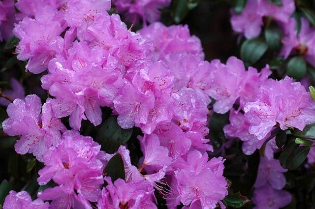 Rhododendron 'PJM Elite' - 10 Gallon