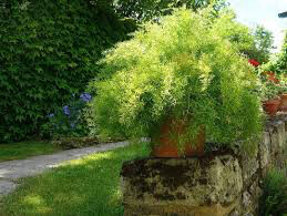 Asparagus Fern - Sprengeri (1 Gal)