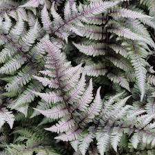 Athyrium niponicum var. pictum 1 gal