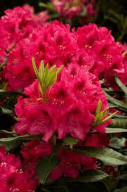 Rhododendron 'Nova Zembla' 10 gal