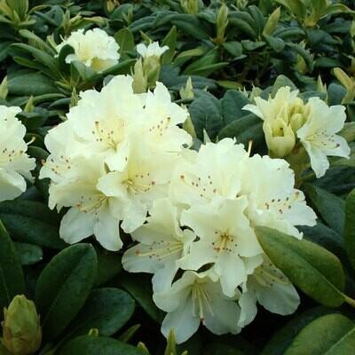 Rhododendron 'Capristrano' 5 gal