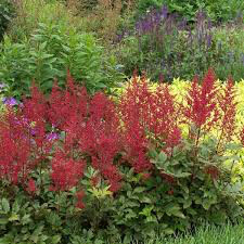 Astilbe Red Sentinel 1 gal.