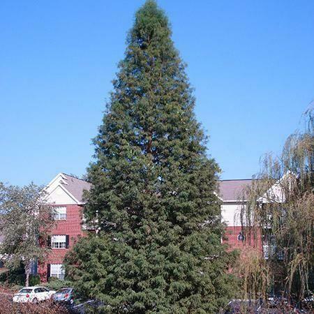 Metasequoia 15 gal
