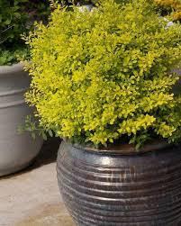 Berberis thunbergii 'Sunjoy Citrus' 2 gal