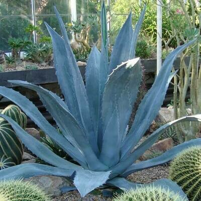 Potted Agave - Blue American