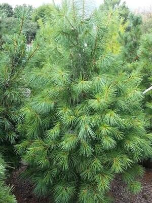 Pinus Strobus - White Pine - 5-6 ft