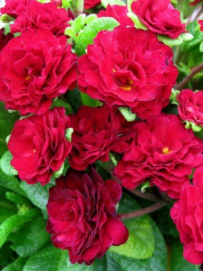 Primula 'Belarina Valentine' 1 gal