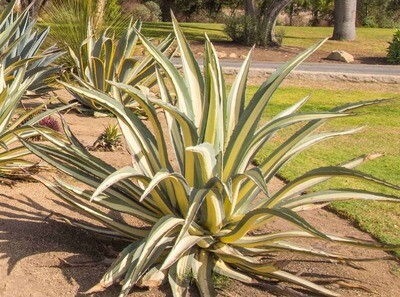 Agave Potted - Mediopicta