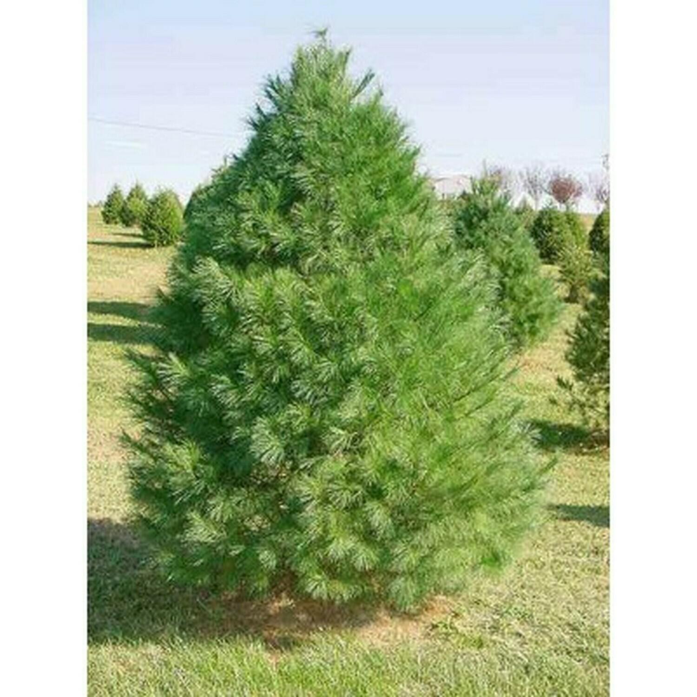 Pinus strobus 4 ft