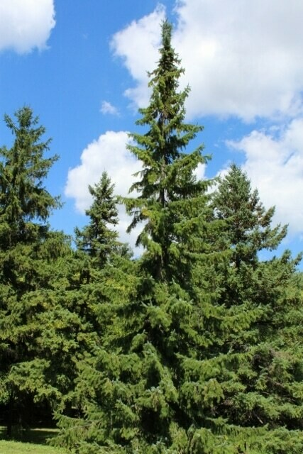 Picea omorika 7 gal