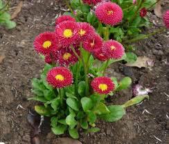 Bellis Perennis Belissima 'Red' 1 gal.