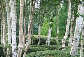 Betula Jacquemontii - Birch Clump - 15 Gallon