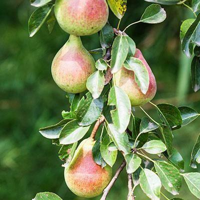 Pear Lucious (10 Gal)