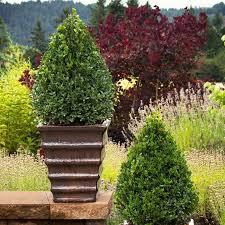 Buxus x 'Green Mountain' 3 gal