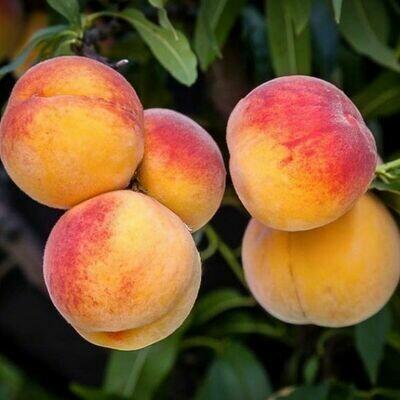 Peach Elberta (7 Gal)