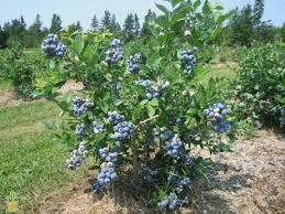 Vaccinium corymbosum 'Bluecrop' 3 gal