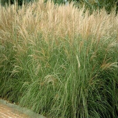 Miscanthus Sinensis 'Morning Light' 2 gal.