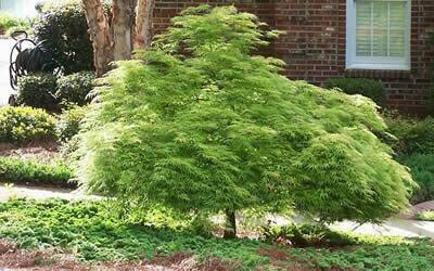 Acer palmatum dissectum 'Viridis' 5 gal
