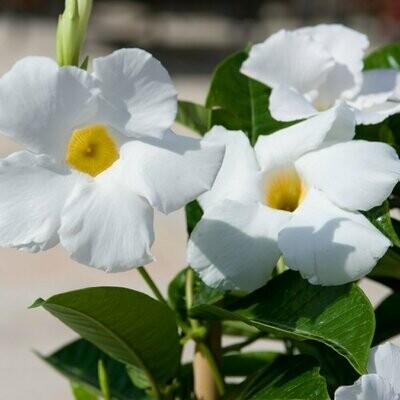 Mandevilla 'White' Trellis 10