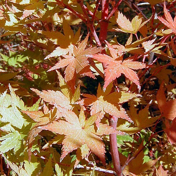 Maple Jiro Shidare Japanese Acer 6'H  25 gal.