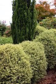 Buxus sinica 'Sunburst' 2 gal