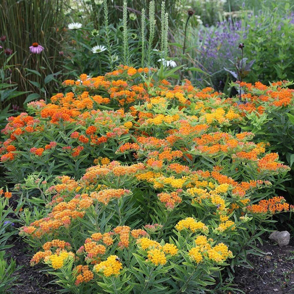 Butterfly Weed Varieties - Gay Butterflies 1 Gal.