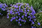 Campanula carpatica 'Rapido Blue' 1 gal