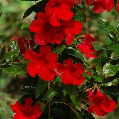 Mandevilla Red 1 gal.