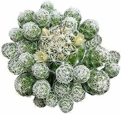 Mammillaria Thimble Cactus