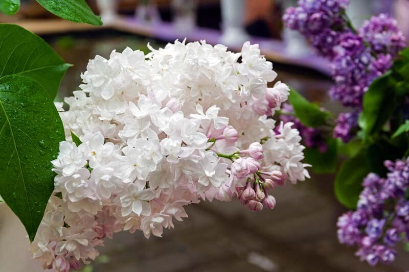 Syringa vulgaris 'Beauty of Moscow' 3 gal