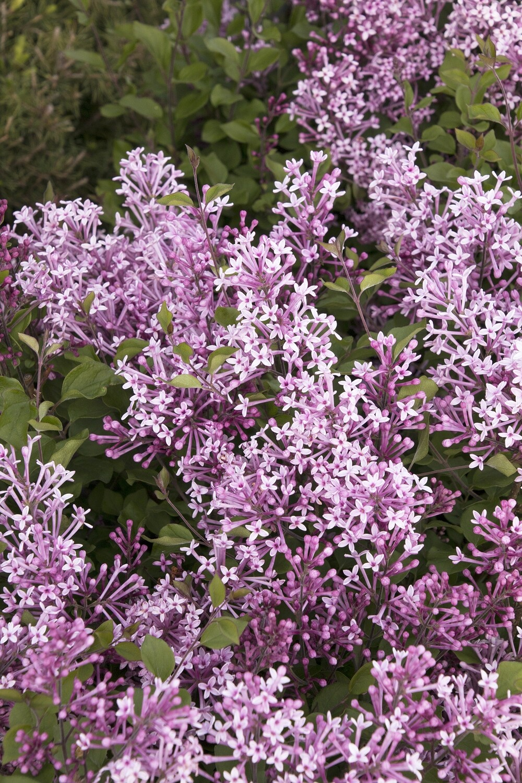 Syringa 'Bloomerang Purple' 2 gal