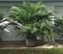 Cat Palm 8