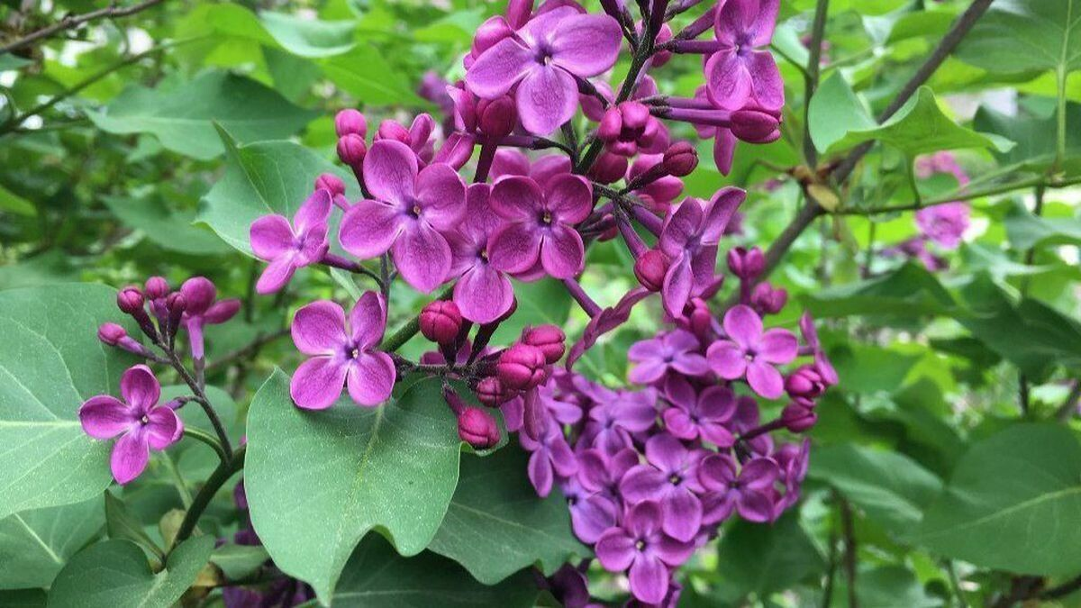 Lilac Grandma's Purple 3 gal.