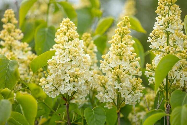 Lilac 'Primrose' 3gal