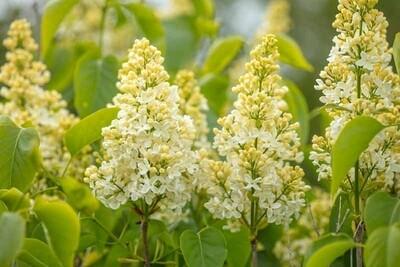 Syringa vulgaris 'Primrose' 3 gal
