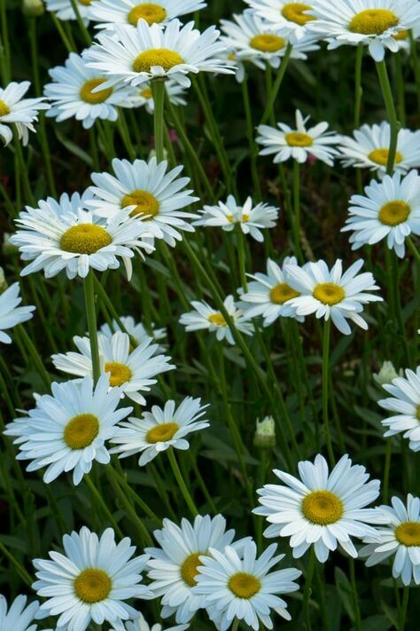 Leucanthemum Superbum -Shasta Daisy 'Becky' 2 gal.