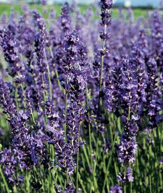 Lavender 'Provence' 2 gal.