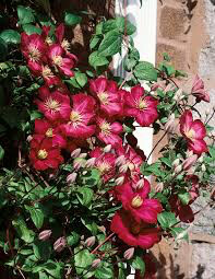 Clematis 'Picardy' 1 gal.