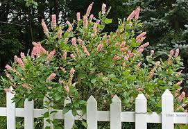 Clethra Alnifolia 'Ruby Spice' 3 gal
