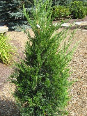 Juniperus Chinesis 'Hetzii Columnaris' 10 gal.