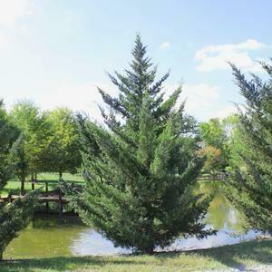 Juniperus Chinesis 'Hetzii Columnaris' 10 gal
