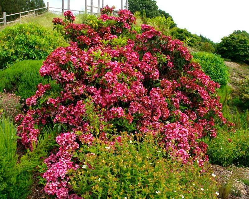 Kalmia latifolia 'Keepsake' 5 gal