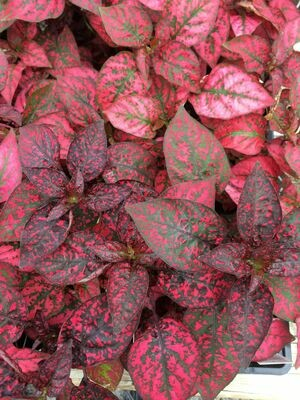 Hypoestes 4 pack - Splash Select Red