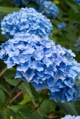 Hydrangea macrophylla 'Nikko Blue' 3 gal