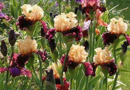 Iris 'Ocelot' 1 gal.
