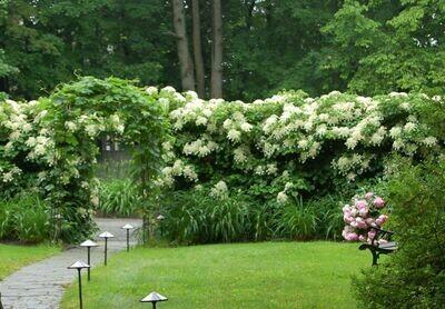 Hydrangea anomala subsp. petiolaris 5 gal