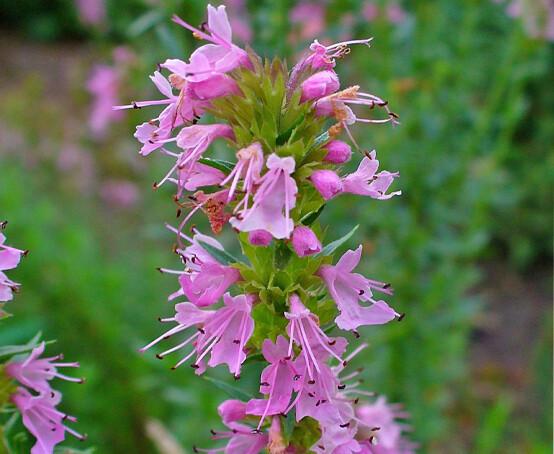 Organic Hyssopus officinalis 'Pink' 1 gal